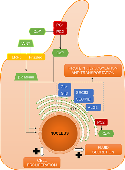 Figure 1: Schematic representation of the localization and function of proteins encoded by the genes involved in polycystic liver disease. ALG8, a-1,3-glucosyltransferase; Ca2þ, calcium; ER, endoplasmic reticulum; FC, fibrocystin/polyductin; GIIa, glucosidase II subunit a; GIIb, glucosidase II subunit b; LRP5, LDL receptor related protein 5; PC1, polycystin-1; PC2, polycystin-2; SEC61b, protein transport protein Sec61 subunit b; SEC63, translocation protein SEC63 homolog (© Lee-Law et al.).